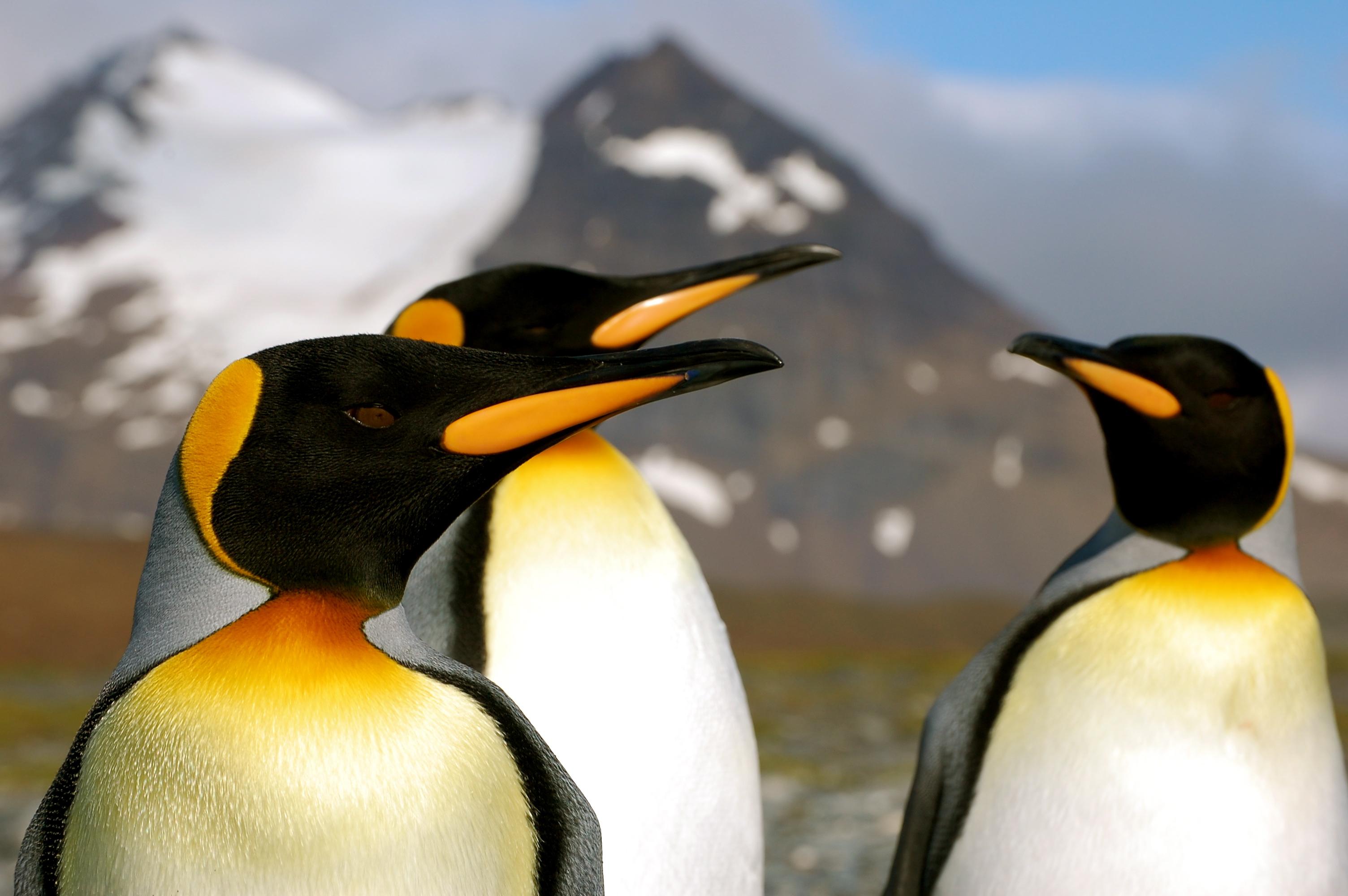 King penguins (DAVE-ELLIS)