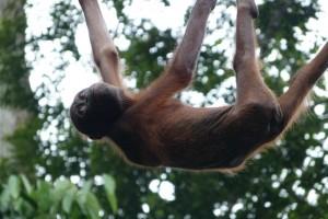 rsz_orangutan-sepilok
